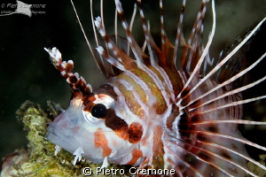 Dwarf lionfish by Pietro Cremone 